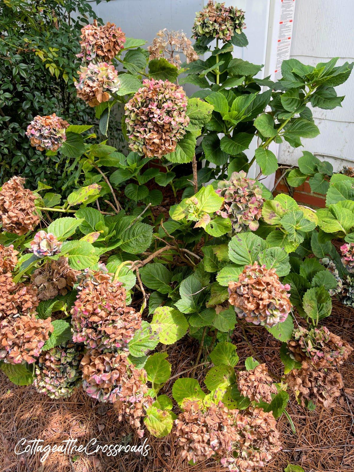 hydrangea blooms drying on a bush