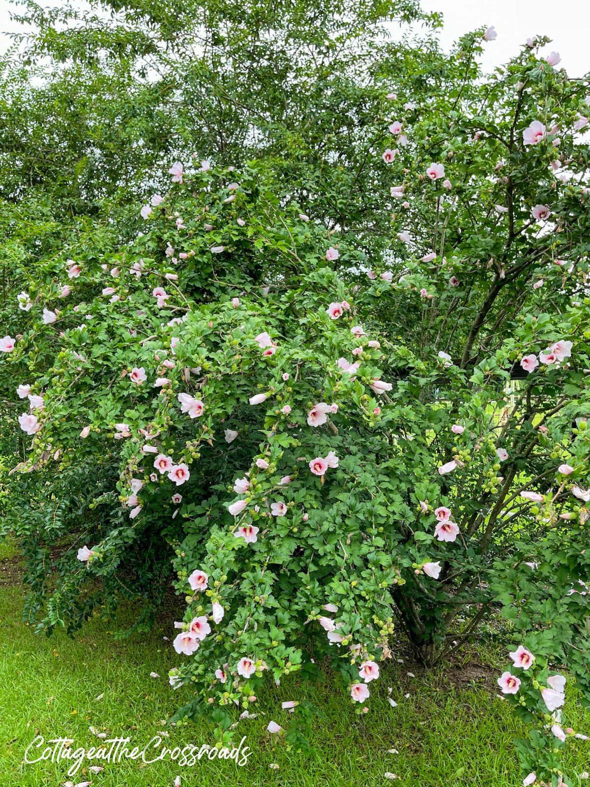 large Rose of Sharon bush loaded with pink blooms