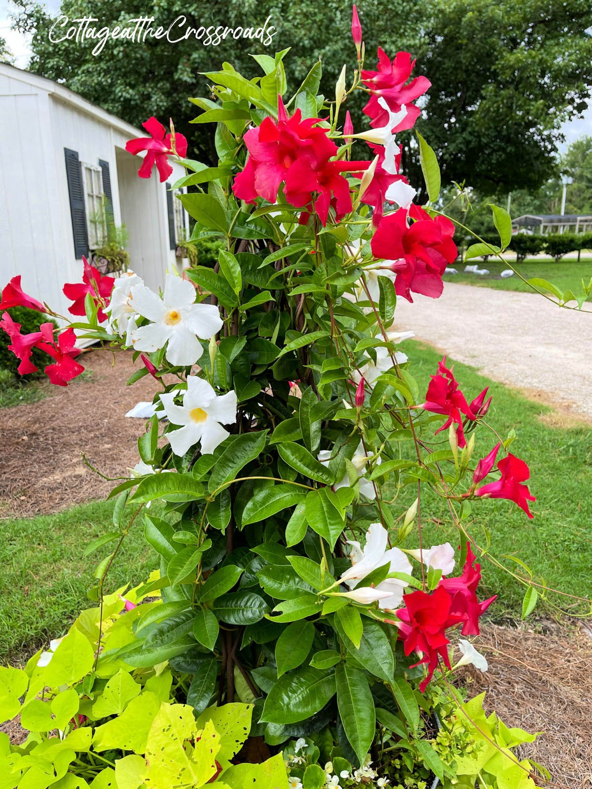white and red mandevilla growing on a trellis