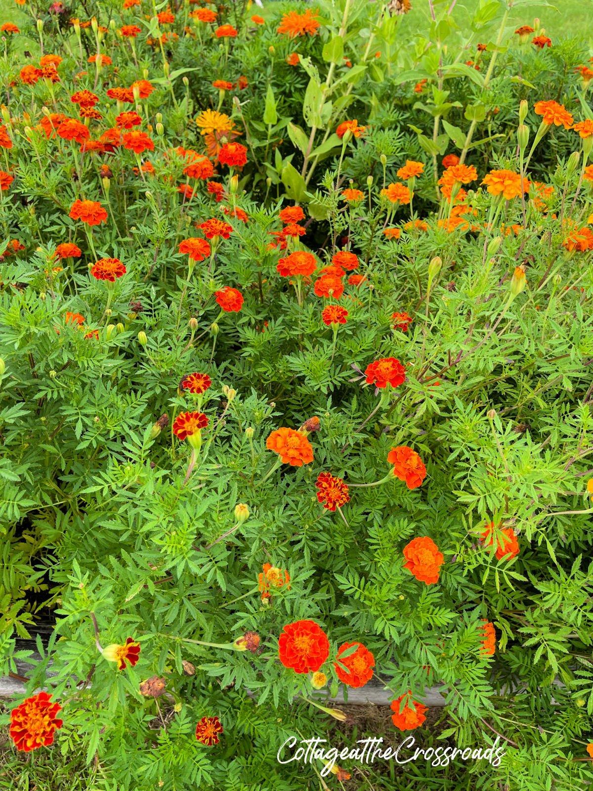 orange marigolds in the vegetable garden