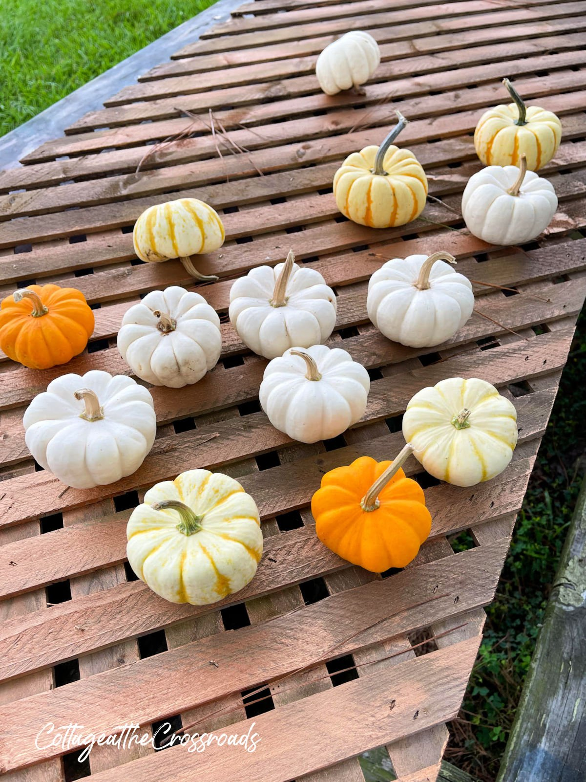 mini boo gourds on a picnic table