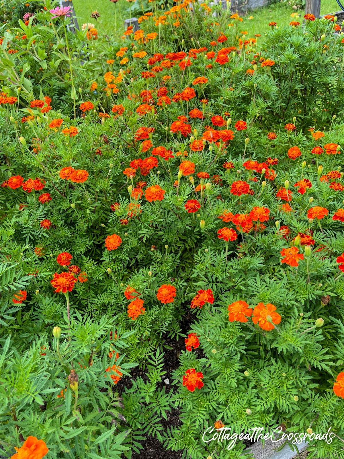 orange marigolds growing in a raised bed