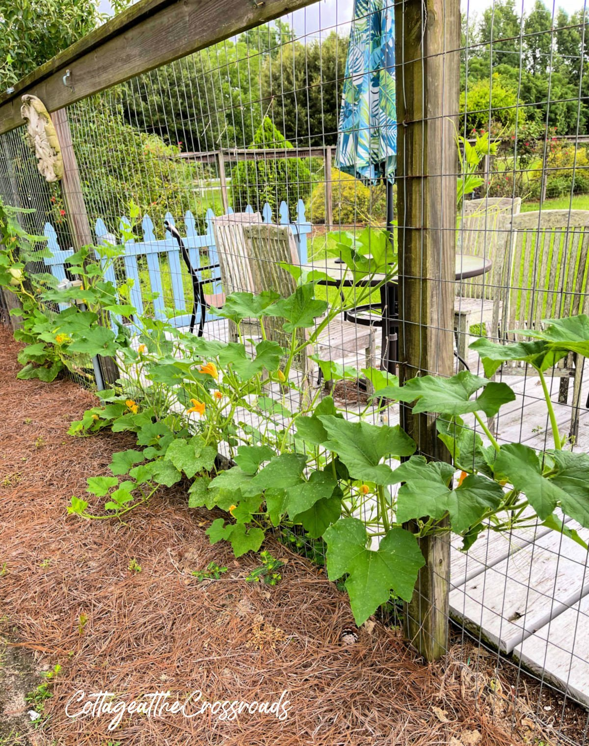 white pumpkins growing on a garden fence