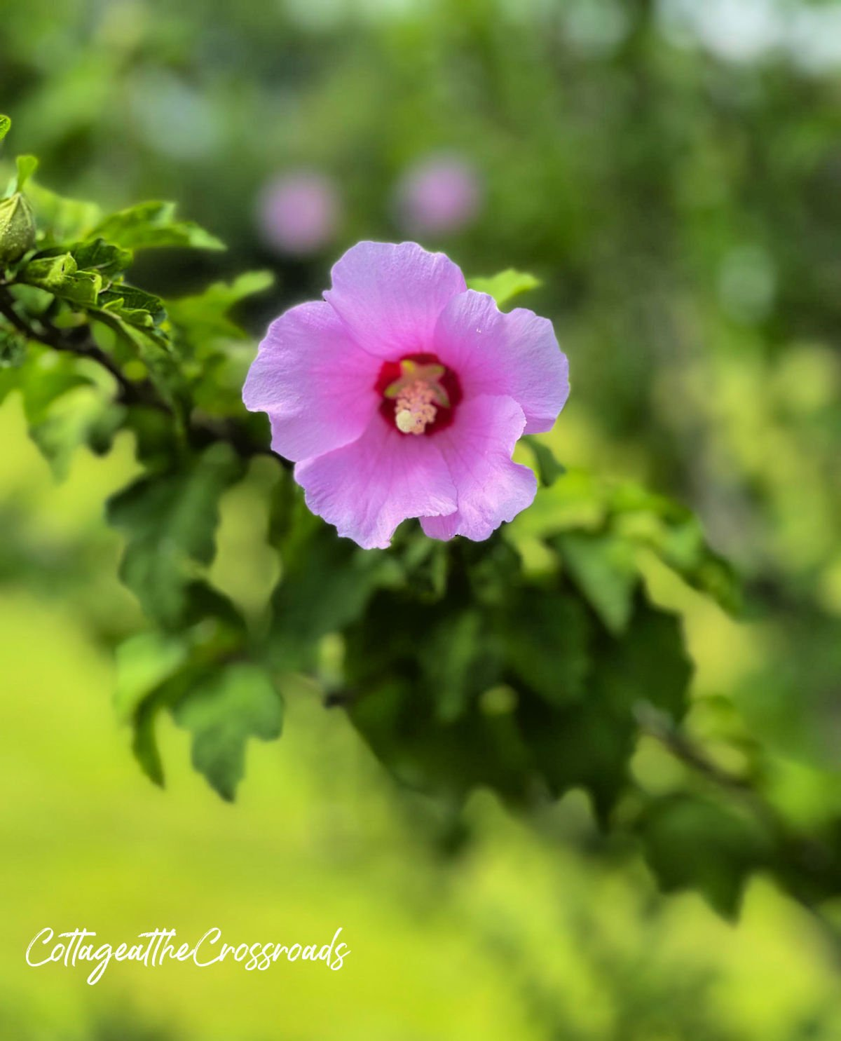 purple Rose of Sharon bloom