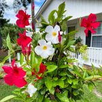 red and white mandevilla on a trellis