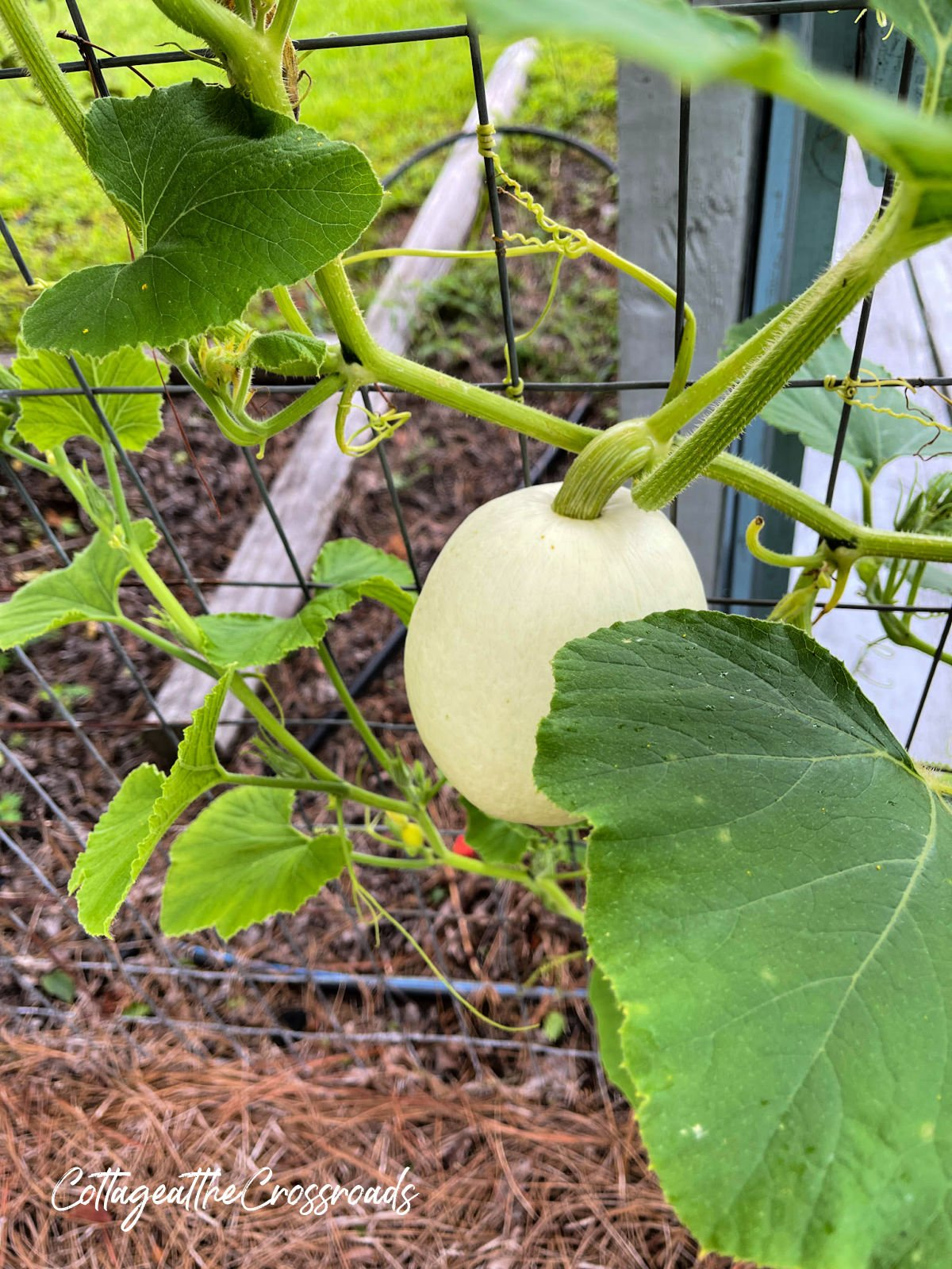 white pumpkin growing on a garden fence