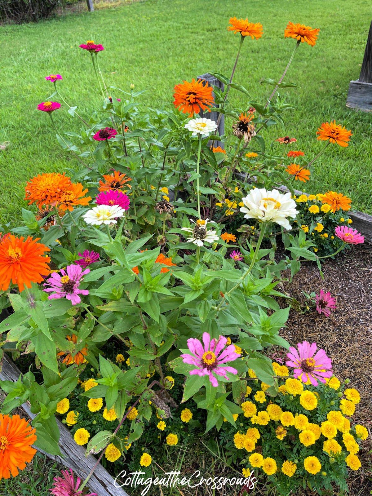 zinnias and marigolds in the vegetable garden