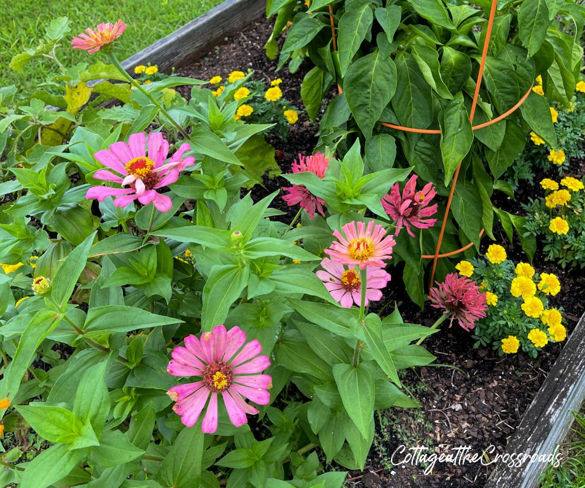zinnias, marigolds, and peppers in a raised bed